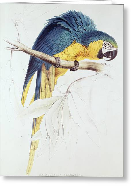 Parrots Greeting Cards - Blue and Yellow Macaw Greeting Card by Edward Lear