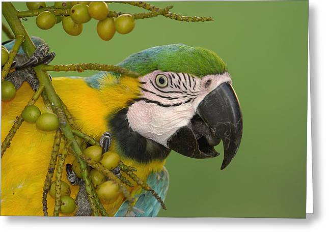 Macaw Profile Greeting Cards - Blue And Yellow Macaw Feeding On Palm Greeting Card by Pete Oxford