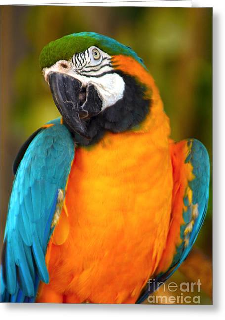 Blue And Yellow Macaw Greeting Cards - Blue and Yellow Macaw Greeting Card by Heidi Hermes