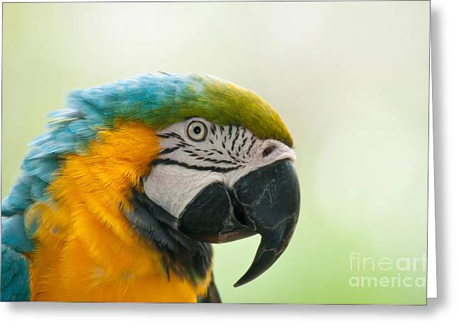 Blue And Yellow Macaw Greeting Cards - Blue-and-yellow Macaw Greeting Card by Mark Newman
