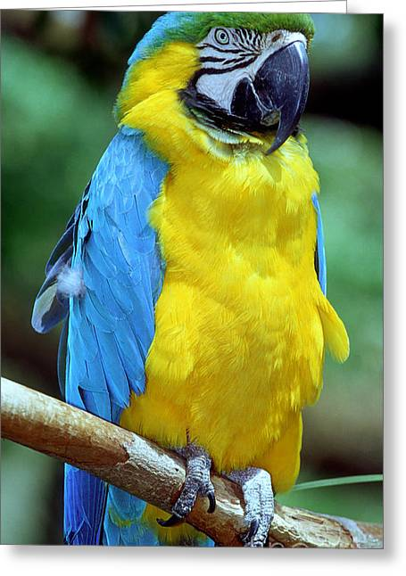 Blue And Yellow Macaw Greeting Cards - Blue And Yellow Macaw Greeting Card by Millard H. Sharp