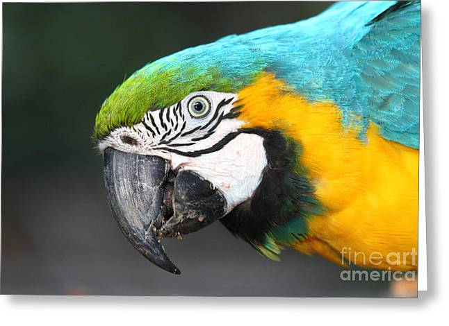Macaw Greeting Cards - Blue and Yellow Macaw Portrait Greeting Card by James Brunker