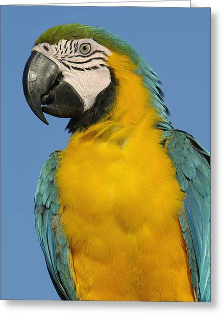 Macaw Profile Greeting Cards - Blue And Yellow Macaw Portrait Greeting Card by Pete Oxford