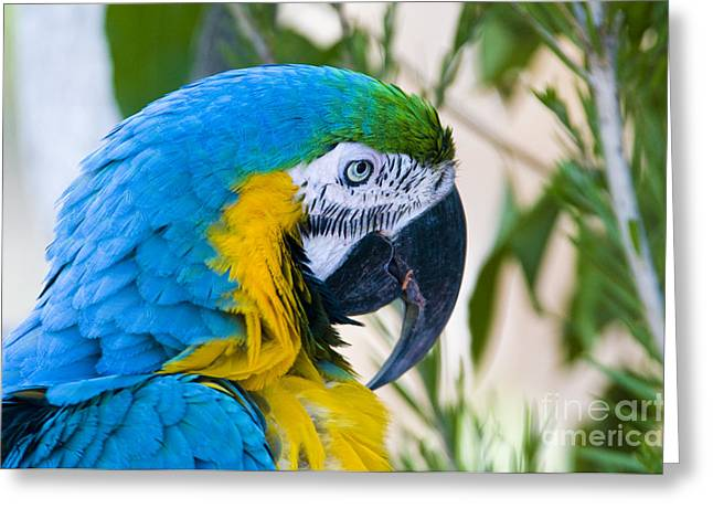 Blue And Yellow Macaw Greeting Cards - Blue And Yellow Macaw Greeting Card by William H. Mullins