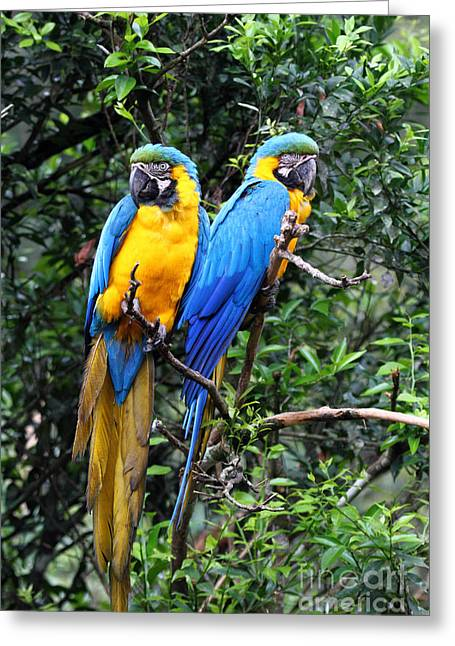Macaw Greeting Cards - Blue and Yellow Macaws Greeting Card by James Brunker