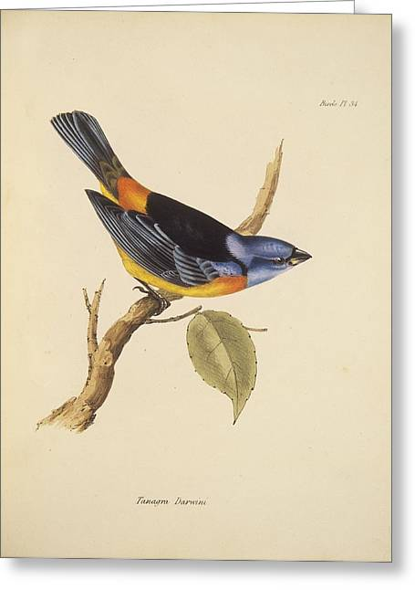 John Gould Greeting Cards - Blue-and-yellow tanager, 19th century Greeting Card by Science Photo Library