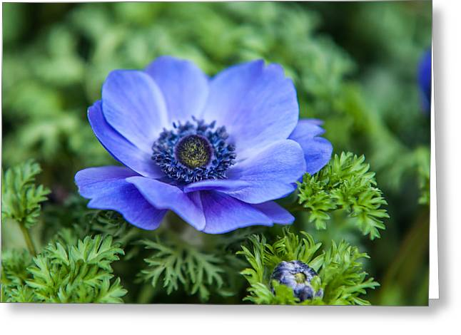 Amsterdam Market Greeting Cards - Blue Anemone. Flowers of Holland Greeting Card by Jenny Rainbow