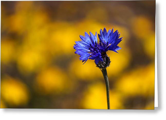 Gold Buttons Greeting Cards - Blue Bachelor Button On Gold Greeting Card by James Eddy