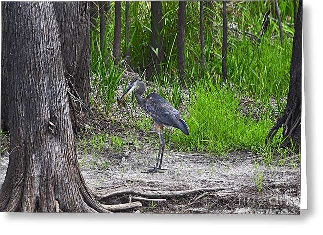 Grey Heron Greeting Cards - Blue Bags Bream Greeting Card by Al Powell Photography USA