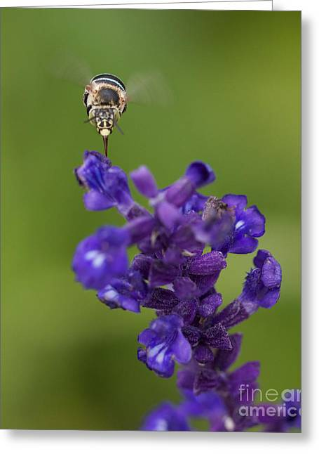 Australian Bees Greeting Cards - Blue Banded Bee 3 Greeting Card by Mardi Harrison