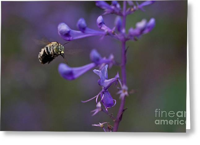 Australian Bees Greeting Cards - Blue Banded Bee Greeting Card by Mardi Harrison