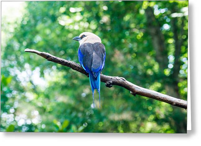 Senegal Greeting Cards - Blue Bellied Roller Greeting Card by Douglas Barnett