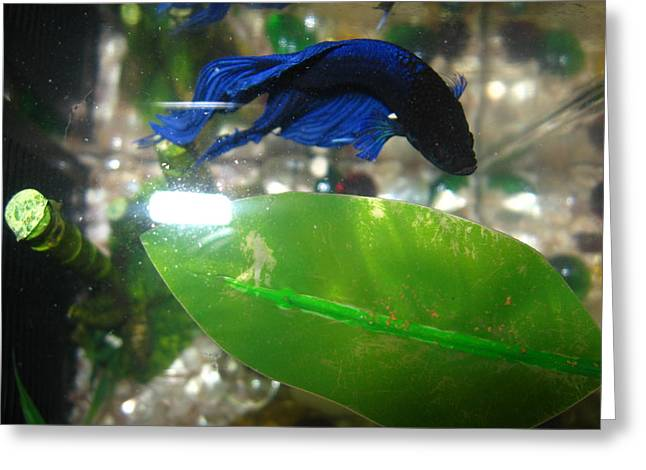Betta Greeting Cards - Blue Betta Greeting Card by Abneris Verdecia