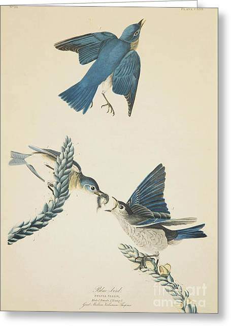 Wild Life Drawings Greeting Cards - Blue Bird Greeting Card by Celestial Images