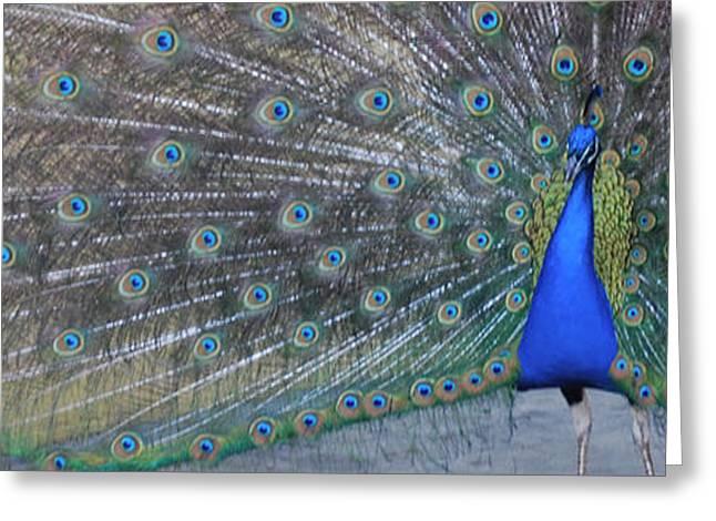 Custom Pet Drawing Greeting Cards - Blue Bird Peacock Greeting Card by PaulaG