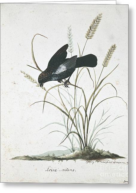 Blue-black Grassquit, 18th Century Greeting Card by Natural History Museum, London