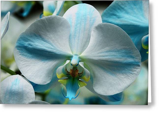 Blue Bow Orchid Greeting Card by William Dey