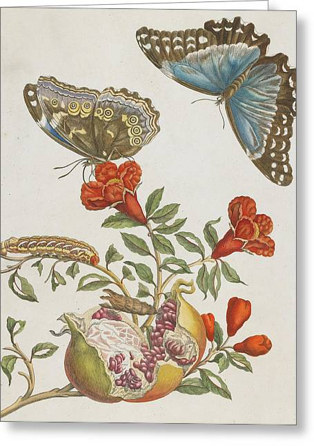 Blooms Butterflies Greeting Cards - Blue Butterflies and Pomegranate Greeting Card by Maria Sibylla Graff Merian