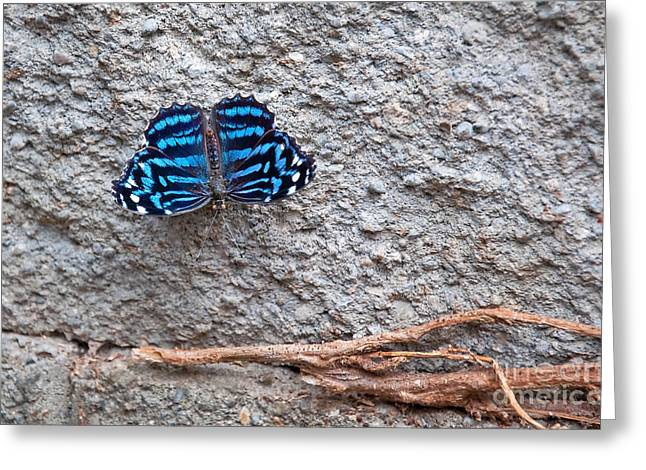 Roots And Wings Greeting Cards - Blue Butterfly Myscelia Ethusa Greeting Card by Valerie Garner