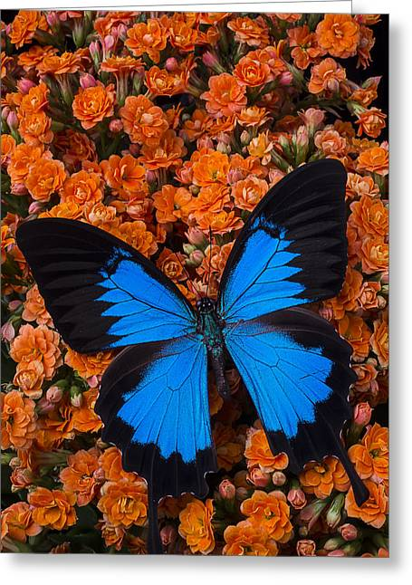 Antenna Greeting Cards - Blue butterfly on orange kalanchoe Greeting Card by Garry Gay