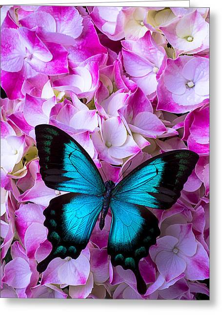 Blue Butterfly Greeting Cards - Blue Butterfly On Pink Hydrangea Greeting Card by Garry Gay