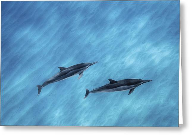 Spinner Dolphin Greeting Cards - Blue Chill Greeting Card by Sean Davey