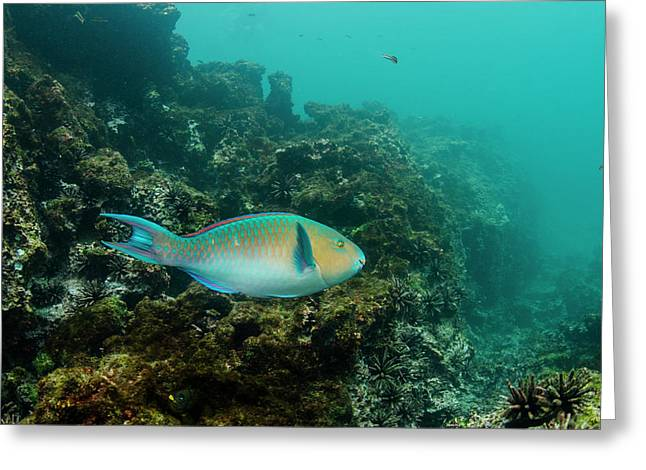 Blue-chin Parrotfish (scarus Ghobban Greeting Card by Pete Oxford