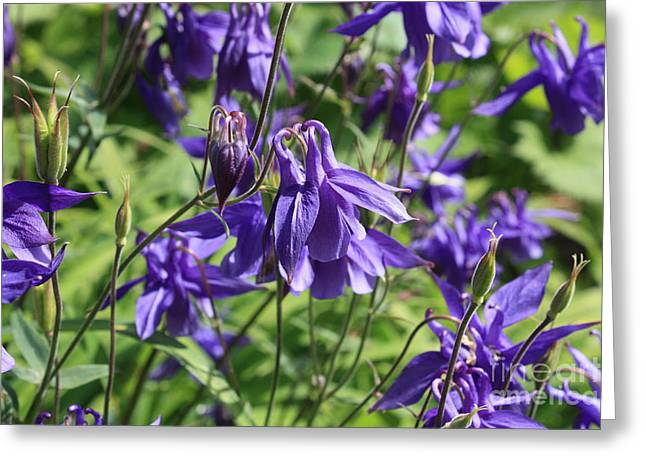 Blue And Green Greeting Cards - Blue Columbine Flower Greeting Card by Carol Groenen