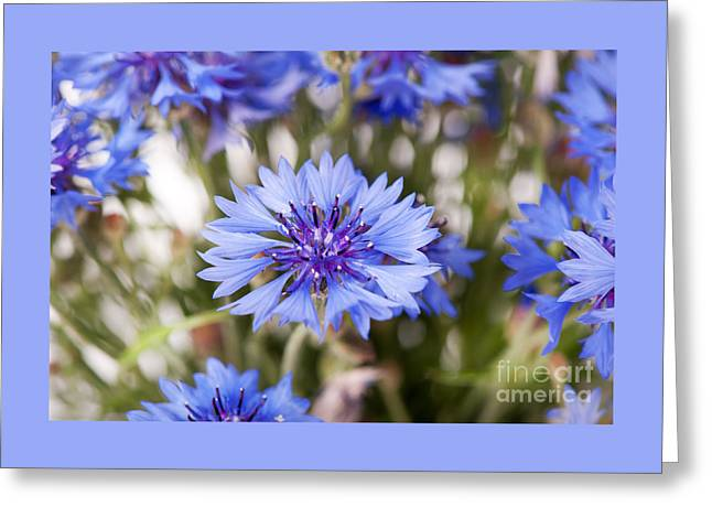 Recently Sold -  - Blooms Greeting Cards - Blue cornflower flowerhead detail  Greeting Card by Arletta Cwalina