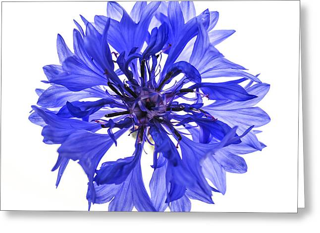 From Above Greeting Cards - Blue cornflower flower Greeting Card by Elena Elisseeva