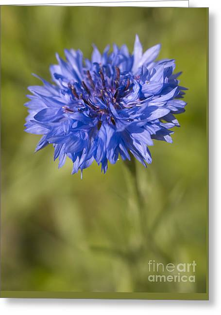 Blue Cornflower Greeting Card by Tony Cordoza