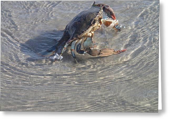 Robert Nickologianis Greeting Cards - Blue Crab Chillin Greeting Card by Robert Nickologianis