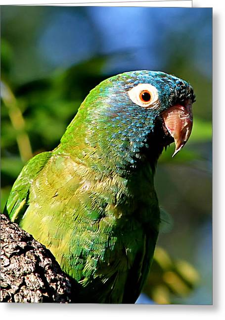 Quaker Parrot Greeting Cards - Blue-crowned Parakeet Greeting Card by Ira Runyan