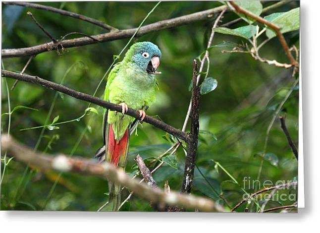 Paraguay Greeting Cards - Blue crowned Parakeet Greeting Card by James Brunker