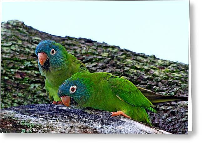 Quaker Parrot Greeting Cards - Blue-crowned Parakeet pair Greeting Card by Ira Runyan
