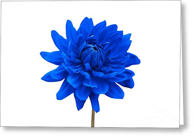 Natalie Kinnear Greeting Cards - Blue Dahlia Flower against White Background Greeting Card by Natalie Kinnear