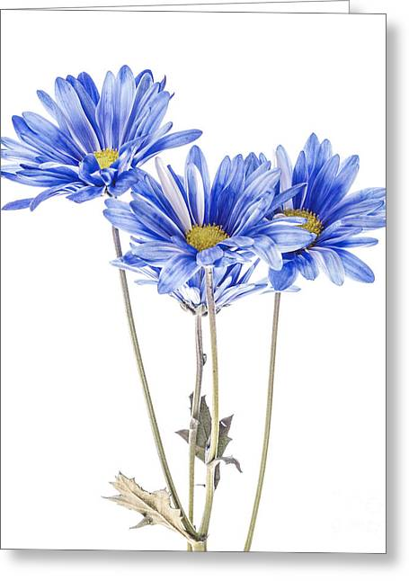 Blue Daisies On White Greeting Card by Vishwanath Bhat
