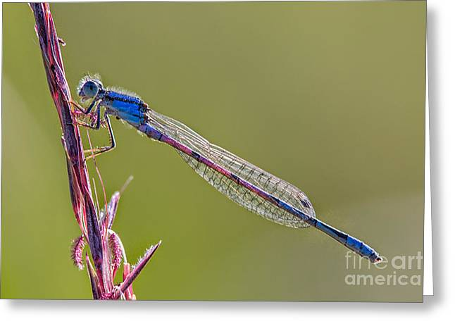 Damsel Fly Greeting Cards - Blue Damsel fly Greeting Card by Todd Bielby