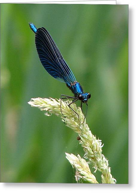 Demoiselles Greeting Cards - Blue Damselfly Greeting Card by Ramona Johnston