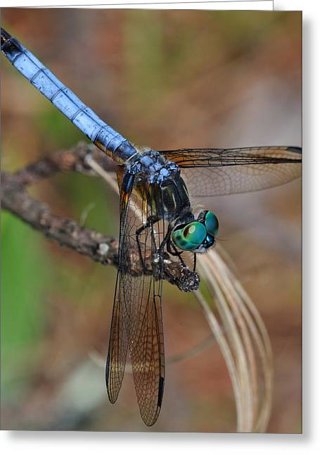 Dragonfly Greeting Cards - Blue Dasher 2 Greeting Card by J Scott Davidson