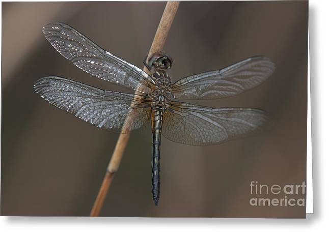 Polk County Florida Greeting Cards - Blue Dasher Dragonfly Greeting Card by Clarence Holmes