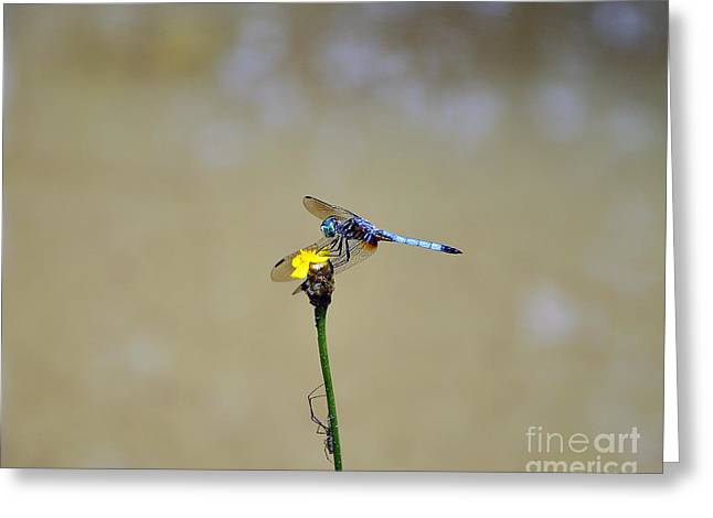 Dragon Fly Photo Greeting Cards - Blue Dasher Male Greeting Card by Al Powell Photography USA