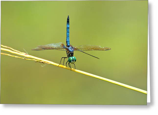 Nature Center Greeting Cards - Blue Dasher Greeting Card by Rich Leighton