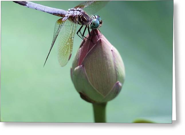 Blue Dragonflies Love Lotus Buds Greeting Card by Sabrina L Ryan