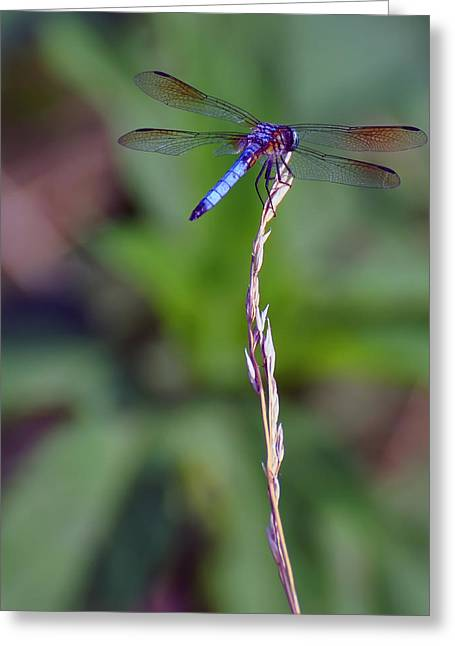 Dragonflies Greeting Cards - Blue Dragonfly On A Blade Of Grass  Greeting Card by Chris Flees