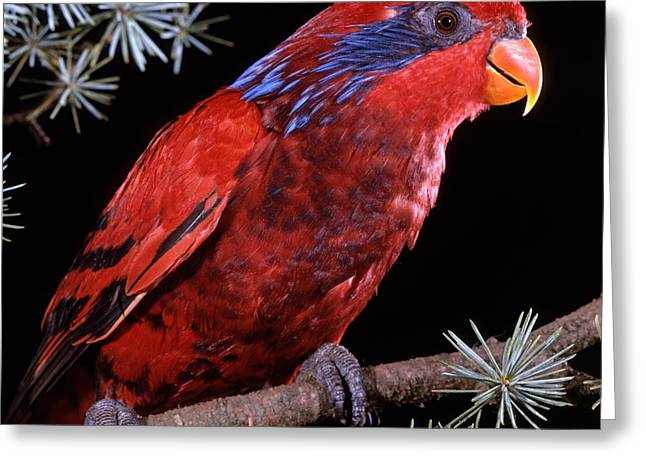 Blue-eared Lory Greeting Card by Jean-Michel Labat