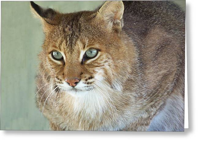 Blue Eyed Bobcat Greeting Card by Jennifer  King
