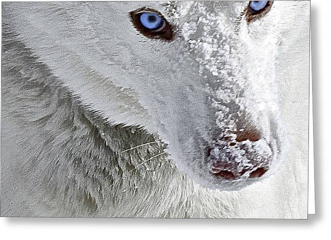 Dogs In Snow. Digital Art Greeting Cards - Blue Eyed Charger Greeting Card by May Finch