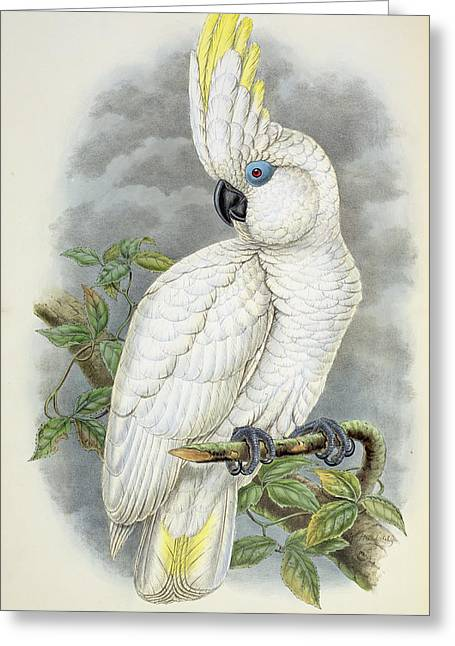 Ornithological Photographs Greeting Cards - Blue-eyed Cockatoo Colour Litho Greeting Card by William Hart