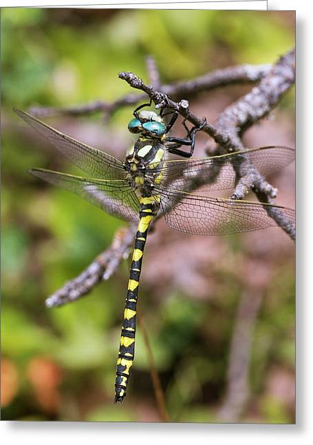 Blue-eyed Golden-ringed Dragonfly Greeting Card by Bob Gibbons